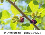 Mulberry Branch With Ripening...