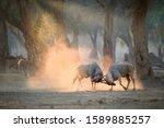 Two Large Male Eland Antelopes...