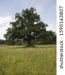 Oak Tree In Meadow  Oak Of...