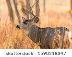 Bull Mule Deer   A Close Up...