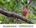 Red House Finch Bird Perched On ...