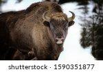 Large brown wisent in the winter forest. Wild European brown bison Bison Bonasus in winter. European wisent in natural habitat. The best photo. Bayerischer Wald.