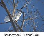 Snowy Owl In Tree In...