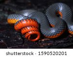 Coiling tail showing off red color on the underside. Pacific Ringneck Snake (Diadophis punctatus amabilis)