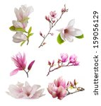 Magnolia Flowers Isolated On...