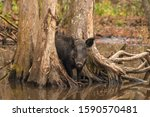 Wild Boar Or Feral Pigs In A...