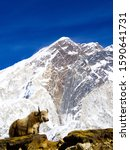 Small photo of A yak stood in front of a snowy Himalayan mountain in Nepal, on our Everest base camp trek.