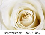 Stock photo close up of beautiful white rose 159071069
