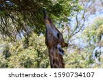 Giraffe Reaching Out With...
