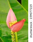Banana Ornamental  Flower Of...