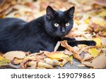 Black Cat In Autumn Leaves...