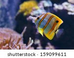 Copperband Butterflyfish ...
