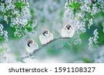 Three Chubby Little Funny Bird...
