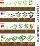set of life cycles of... | Shutterstock .eps vector #1591145557