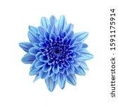 Blue Flower Chrysanthemum....