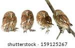 Stock photo little owl 159125267