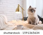 Birman Cat At Home  Space For...