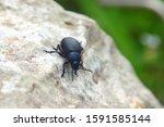 Italian Bloody Nosed Beetle ...