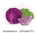 Red Cabbage Vector Illustration ...