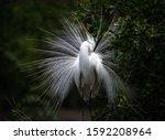 A Great Egret In Breeding...