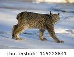 canadian lynx  lynx canadensis  ...   Shutterstock . vector #159223841