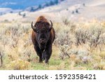 Large Lone Male Bull Bison...