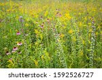 Coneflowers  Goldenrod And...