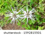 cat's whiskers  orthosiphon... | Shutterstock . vector #1592815501