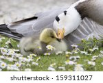 bar headed goose nuzzling young ... | Shutterstock . vector #159311027