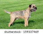 the typical border terrier in a ...   Shutterstock . vector #159337469