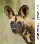 Small photo of Portrait of a wilddog, or Cape Hunting Dog, South Africa. (Lycaon pictus)