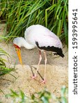 Yellow Billed Stork  Mycteria...