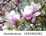 Magnolia Blossoms In The...