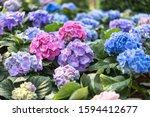 colorful hydrangea flower...   Shutterstock . vector #1594412677