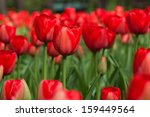 bright colorful tulips.  | Shutterstock . vector #159449564
