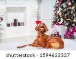 Irish Red Setter Dog In Santa...