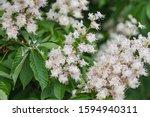 Branch Chestnut Closeup. White...