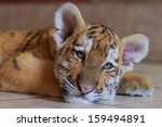 Siberian Tiger Cub Is Preparin...