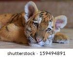 Siberian Tiger Cub Is Preparin...