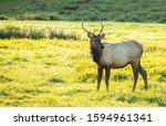 Bull Elk Foraging Along Side O...