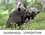 Brown Bear Cubs Playfully...
