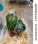 Small photo of Little parrot waiting to grow up.