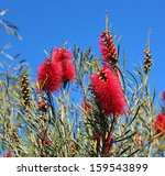 Showy Fragrant  Callistemon Or...