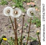 The Seedheads Dandelions ...