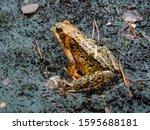 Yellow Toad Frog Close Up Macr...