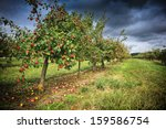 Apple Orchard At Cloudy Autumn...