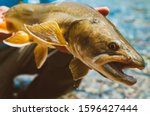 Bull trout from the Alberta Rocky Mountains