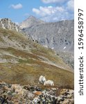 Small photo of Mountain Goats on Quandary Peak