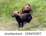 A Shot Of Two Bush Dogs. ...