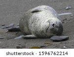 Harbor Seal Lying On A Sandy...